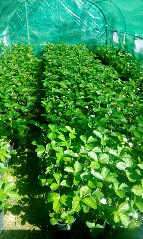 Azienda agricola paolo falleroni riccione coltivo e vendo for Fragole piante in vaso